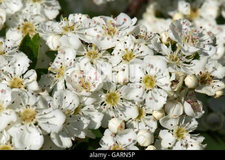 Whiite Mai oder Weißdorn blühen, Crataegus Monogyna, stechend duftende Blüten im Frühjahr - Stockfoto