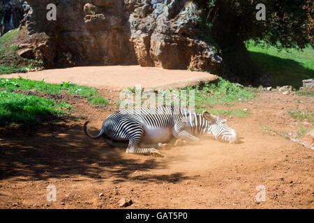 ein Zebra Rollen in staubigen Boden an einem heißen Tag - Stockfoto
