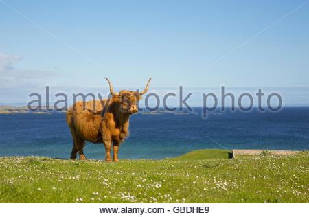 Eine Highland-Kuh in der Nähe von Port Ellen auf der Isle of Islay, Inneren Hebriden, Schottland. - Stockfoto