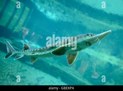Europaeischer Stoer (Acipenser Sturio), Aquarium, Zoo, Breslau, Niederschlesien, Polen - Stockfoto
