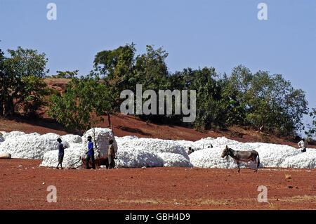 die Baumwollernte durch Kinder in Burkina Faso - Stockfoto
