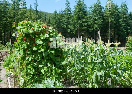 Wigwam von Stangenbohnen (Phaseolus Coccineus) und Mais (Zea Mays) in einen Schrebergarten an Rosemoor in Devon, - Stockfoto