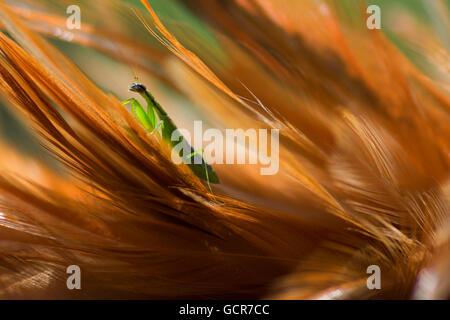 Makroaufnahme der Grüne Gottesanbeterin / Mantis Religiosa auf Federn - Stockfoto