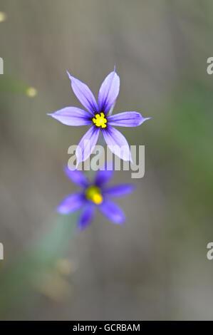Wildblumen am Emerald Lake, Yoho-Nationalpark, Alberta, Kanada - Stockfoto