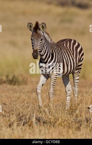 Ebenen Zebra (Equus Quagga) in den Busch, Krüger Nationalpark, Südafrika - Stockfoto