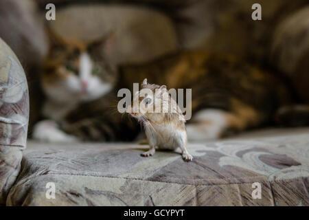 Katze spielt mit Wüstenrennmaus Mäuschen. Natürliches Licht. - Stockfoto