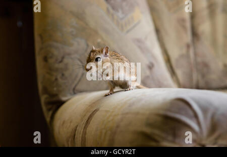 Wüstenrennmaus Maus auf dem Stuhl - Stockfoto
