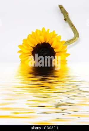 Digital manipulierte Bild einer geschnittenen Sonnenblumen reflektieren in einer Lache des Wassers - Stockfoto