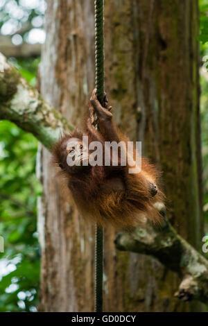 Ein Baby Orang-Utan hängt an einem Seil an einem Naturschutzgebiet in Malaysia Borneo. - Stockfoto