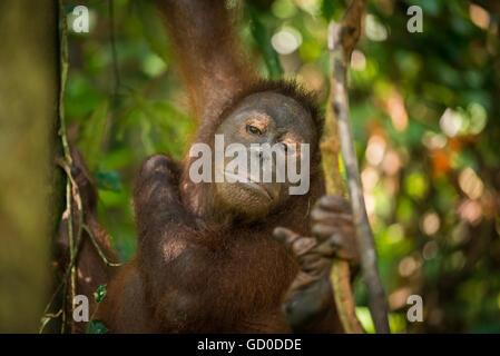 Ein Erwachsener weiblicher Orang-Utan schwingt zwischen den Bäumen in einem Naturschutzgebiet in Malaysia Borneo. - Stockfoto