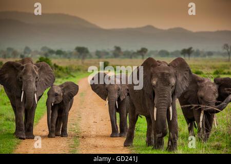 Afrikanischer Elefant-Familie auf Safari, Safaripark Mizumi, Tansania, Ostafrika, Afrika - Stockfoto