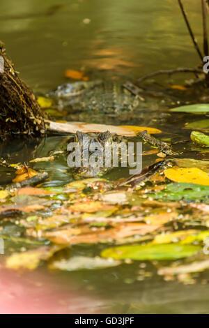 Brillentragende Kaiman (Caiman Crocodilus) lauern, warten auf Beute im Nationalpark Tortuguero, Costa Rica - Stockfoto