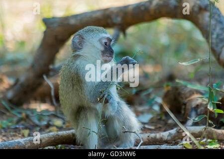 Unschuldiges Kind Vervet Affen spielen mit einer Pflanze im Busch - Stockfoto