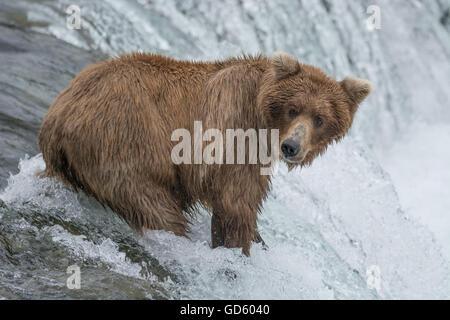 Grizzly Bear Lachs zu fangen, an der Spitze eines Wasserfalls, Brook Falls, Alaska - Stockfoto