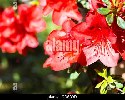 rotes immergr n azalea blumen und pflanze stockfoto bild 104354288 alamy. Black Bedroom Furniture Sets. Home Design Ideas