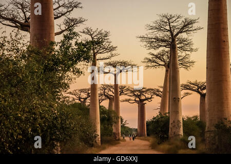 Sonnenuntergang in der berühmten Avenida de Baobab in der Nähe von Morondava in Madagaskar - Stockfoto