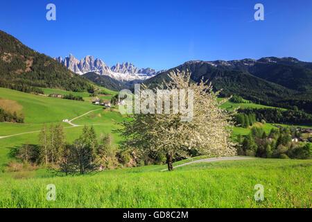Blühende Frames das Dorf St. Magdalena und die Geislerspitzen Villnösser Tal Südtirol Dolomiten Italien Europa - Stockfoto