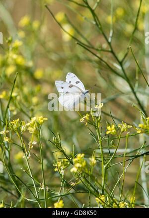 Kleiner weißer Schmetterling; Pieris Rapa; Pieridae; auf Wildblumen im zentralen Colorado; USA - Stockfoto