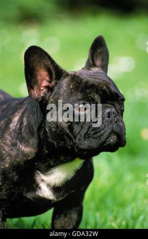 Französische Bulldogge, Portrait des Hundes - Stockfoto