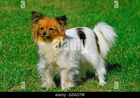 Papillon Hund oder kontinentaler Zwergspaniel auf Rasen - Stockfoto