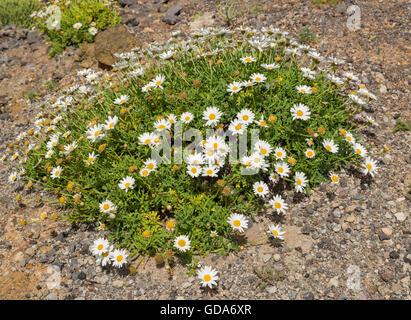 Argyranthemum Frutescens, einer von mehreren Argyranthemum-Arten endemisch auf den Kanarischen Inseln, am Punta - Stockfoto