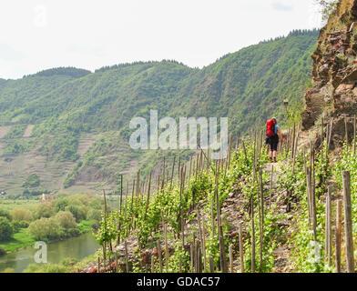 Klettersteig Pfalz : Eine kletterwand frau am calmont klettersteig bremm rheinland
