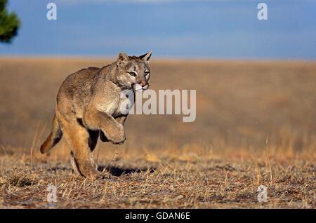 Puma, Puma Concolor, Erwachsenen ausgeführt, Montana - Stockfoto