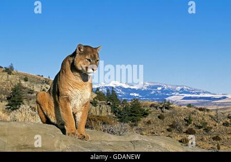 Puma, Puma Concolor, über Rock, Montana - Stockfoto