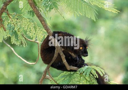 BLACK LEMUR Eulemur Macaco, männlichen hängen von Ast, Madagaskar - Stockfoto