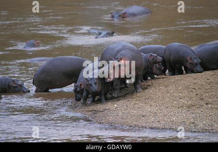 Nilpferd, Nilpferd Amphibius Gruppe im River Side, Masai Mara-Park in Kenia - Stockfoto