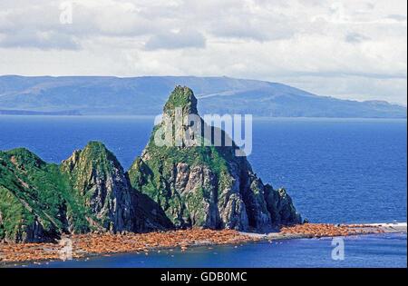 Walross, Odobenus Rosmarus Kolonie auf Round Island in Alaska - Stockfoto
