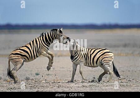 Burchell Zebra, Equus Burchelli, Hengste, die kämpfen, Serengeti-Park in Tansania - Stockfoto