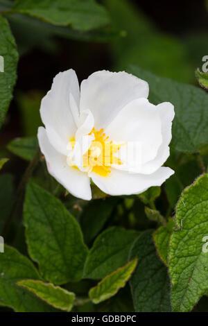 Einzelne Blume der Hybrid weißen Rock Rose, Cistus x corbariensis - Stockfoto