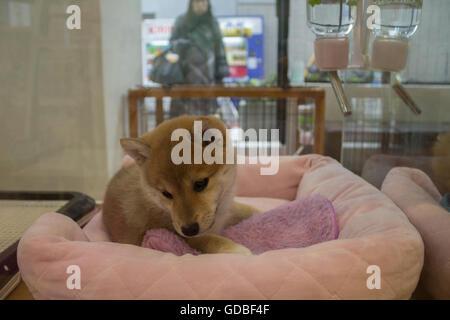 Shiba Inu Welpen bei einem Haustier speichern in Tokio Japan - Stockfoto