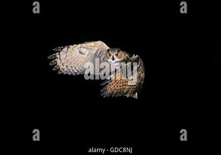 Europäische Uhu Bubo Bubo fliegen - Stockfoto