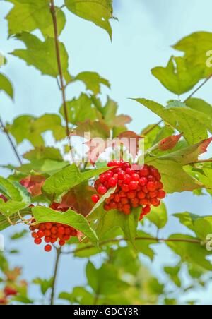 Die Trauben der roten Schneebälle auf den Busch - Stockfoto