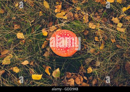 Fliegenpilz, fly Agaric, Pilze im Wald - Herbst Wald landschaft Stockfoto