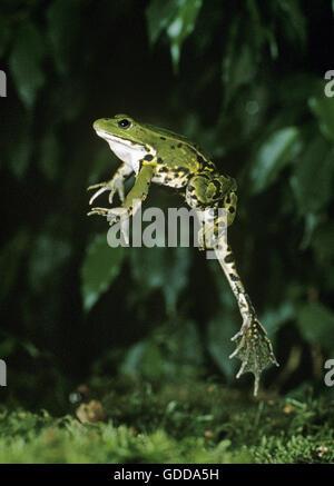 Essbare Frosch oder Green Frog, Rana Esculenta, Erwachsene springen - Stockfoto