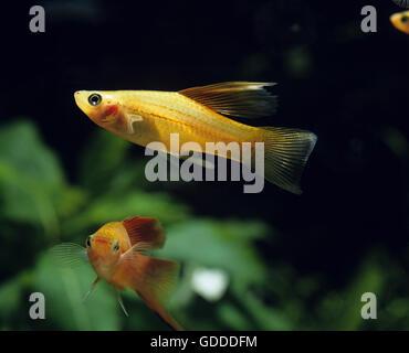 Schwertträger Fisch, Xiphophorus helleri - Stockfoto