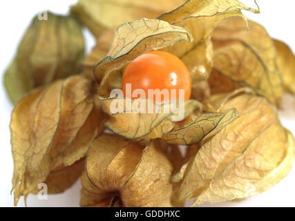 Chinesische Laterne Obst, Physalis Alkekengi, Früchte vor weißem Hintergrund - Stockfoto