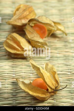 Chinesische Laterne Obst, Physalis alkekengi - Stockfoto
