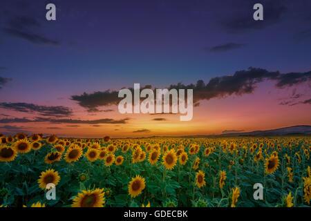 Sonnenuntergang über einem Sonnenblumenfeld mit dramatischer Himmel - Stockfoto