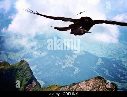 Nahaufnahme der Raubvogel überfliegt Santis Berge, Schwende, Schweiz - Stockfoto