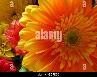 Nahaufnahmen von schönen, lebendigen Blumen in den Farben Orange, Pink und gelb - Stockfoto