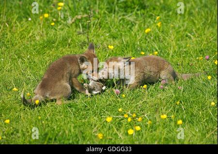 Rotfuchs Vulpes Vulpes, Pup mit einem Kill, ein junge Kaninchen, Normandie - Stockfoto