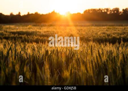 Sonnenauf- oder Sonnenuntergang goldene Stunde über ein Feld von Weizen Kulturen auf Bauernhof - Stockfoto