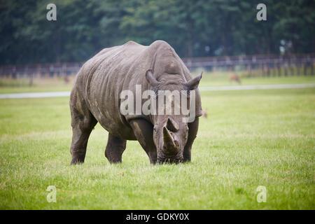 Knowsley Safari Park ist ein Tierpark und touristische Attraktion im Bereich Knowsley von Merseyside, England Erhaltung - Stockfoto