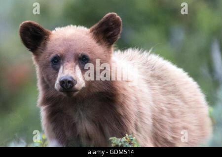 Zimt gefärbt American Black Bear Cub / Jährling im Yellowstone National Park in Wyoming USA - Stockfoto