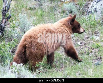 Zimt gefärbt Black Bear Cub / Jährling in Roosevelt Lodge Gebiet des Yellowstone Nationalparks - Stockfoto