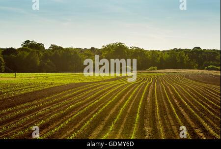 neu gepflanzte Feld auf einer Farm in Eastern Long Island, NY - Stockfoto